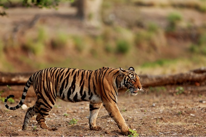 Offbeat tiger stroll in indian national park