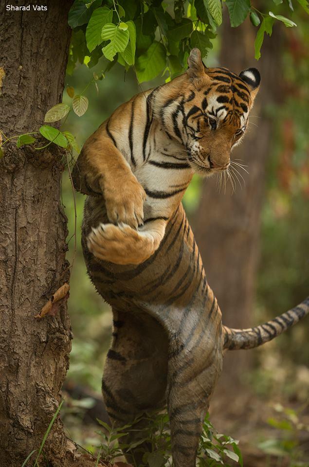 Tiger marking territory in Kanha